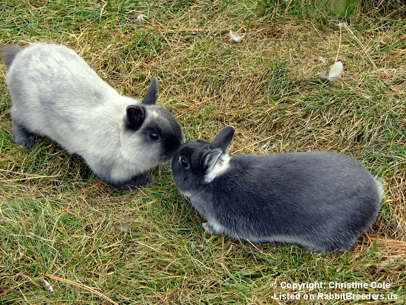 Rabbits Kissing