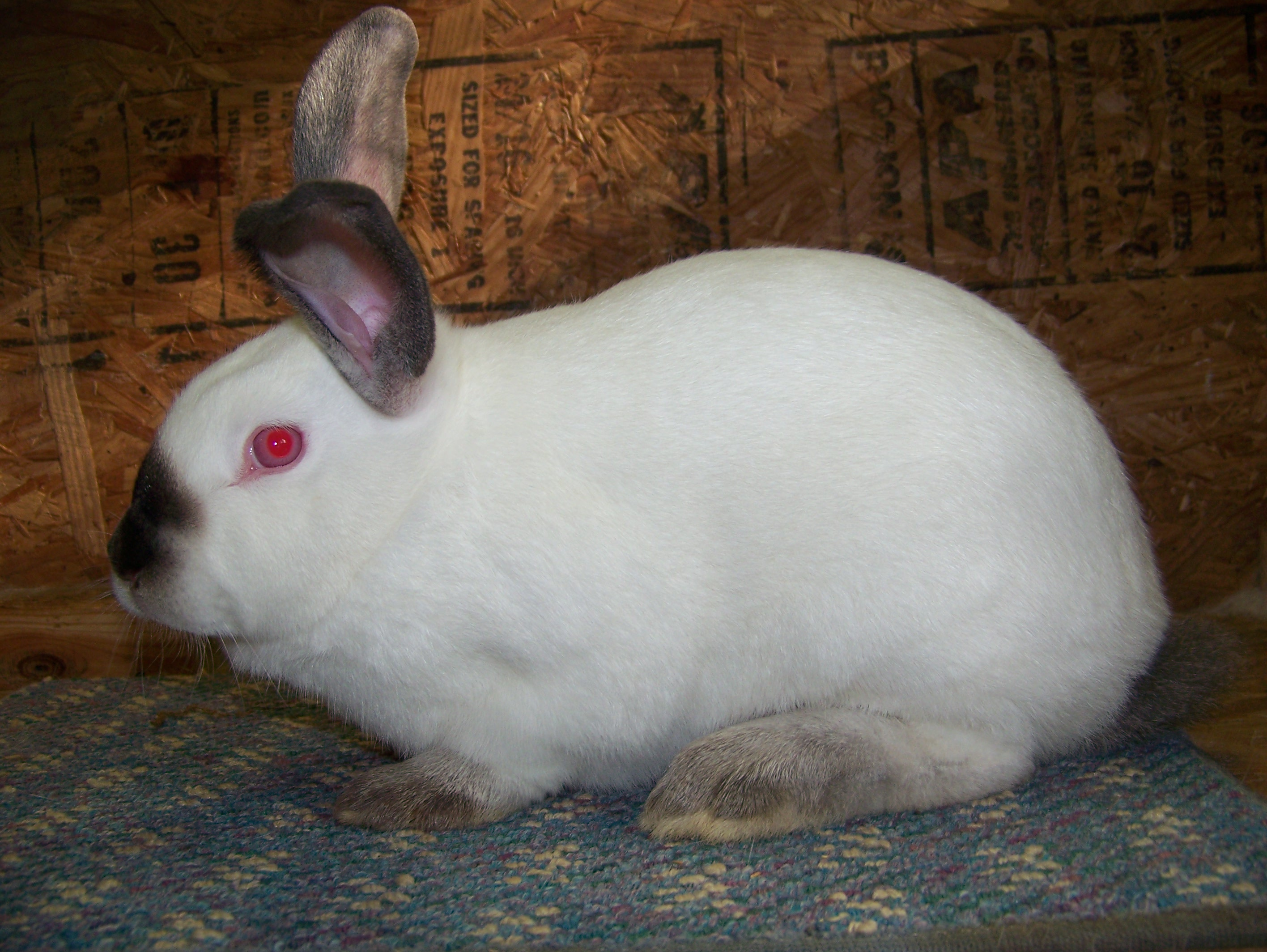 ... rabbits for sale using our directory (like the rabbit shown above