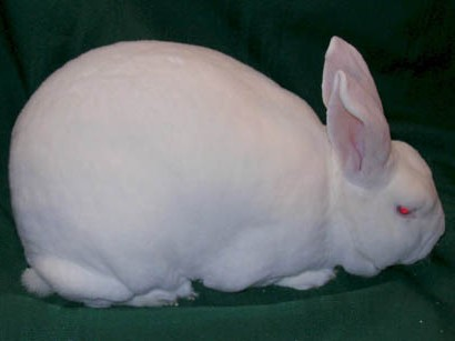 Rex Rabbit Breed
