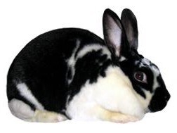 Satin Rabbit Breed