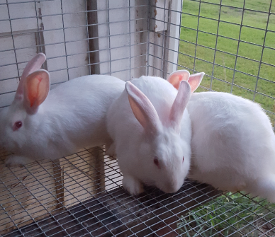New Zealand/Californian mix Rabbits