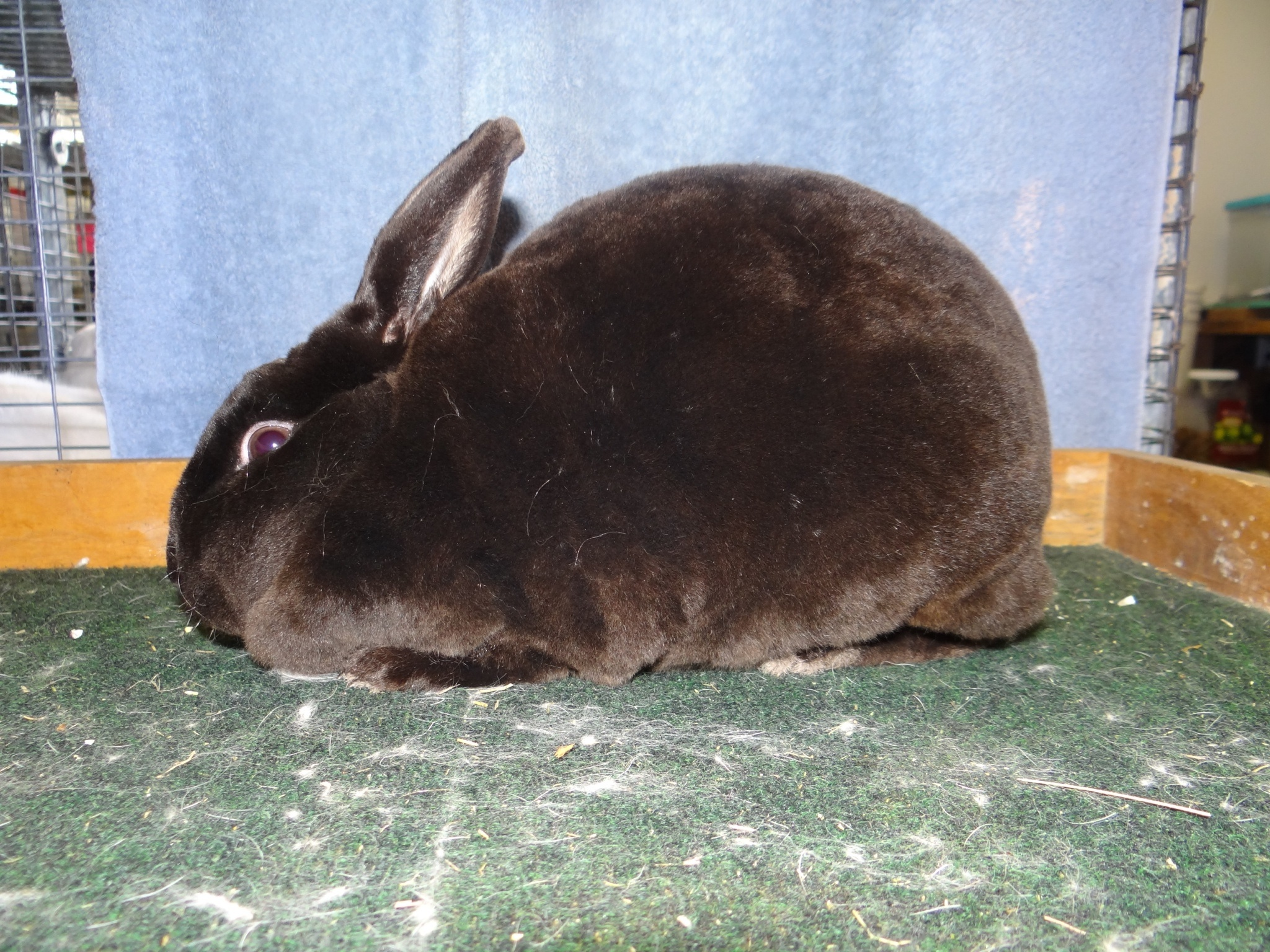 Mini Rex for Sale