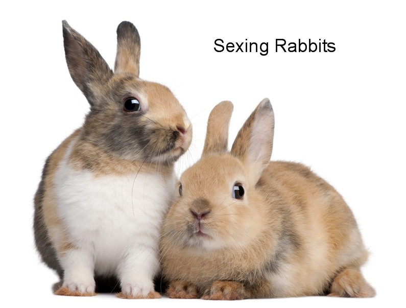 Sexing Rabbits
