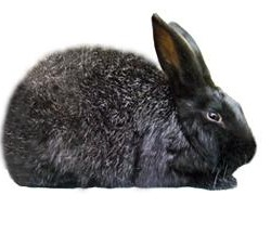 Silver Rabbit Breed