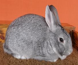 Standard Chinchilla Rabbit Breed