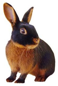 Tan Rabbit Breed