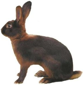 Thrianta Rabbits Usa Rabbit Breeders