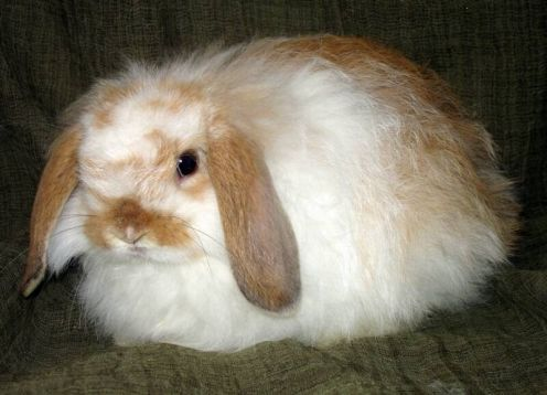 American Fuzzy Lop Rabbit Breed