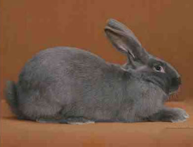 American Rabbit Breed