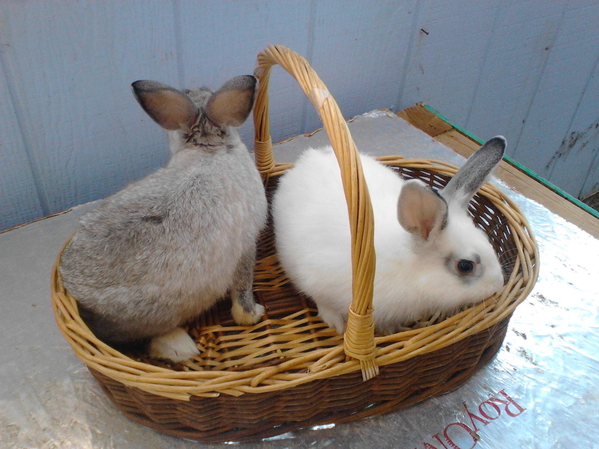 New Zealand, Lionhead Cross, Grey Cottontails, Grey Chinchilla mix Rabbits