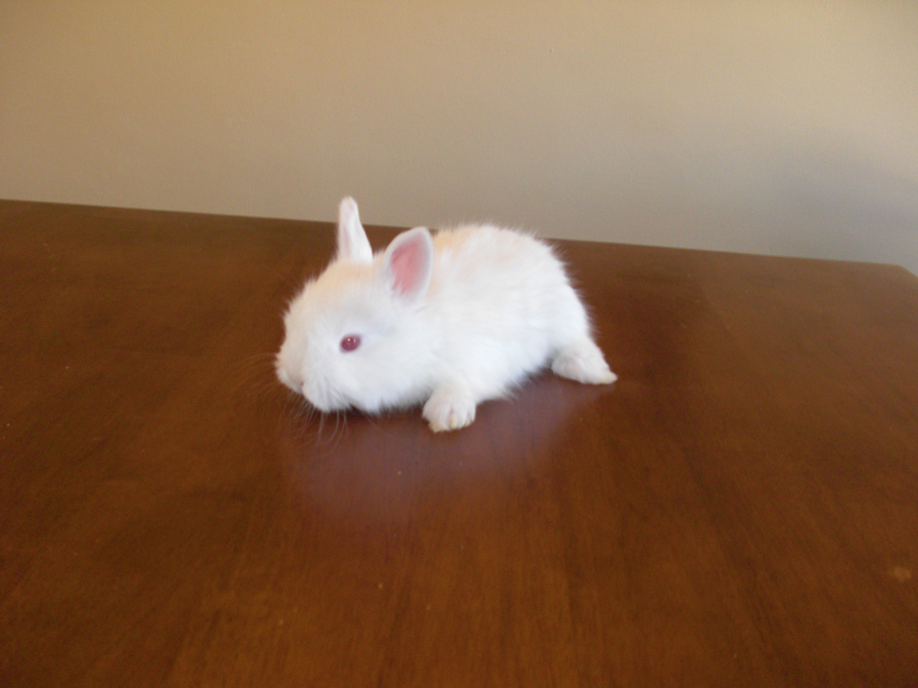 English Angora/Satin Angora Cross Rabbits
