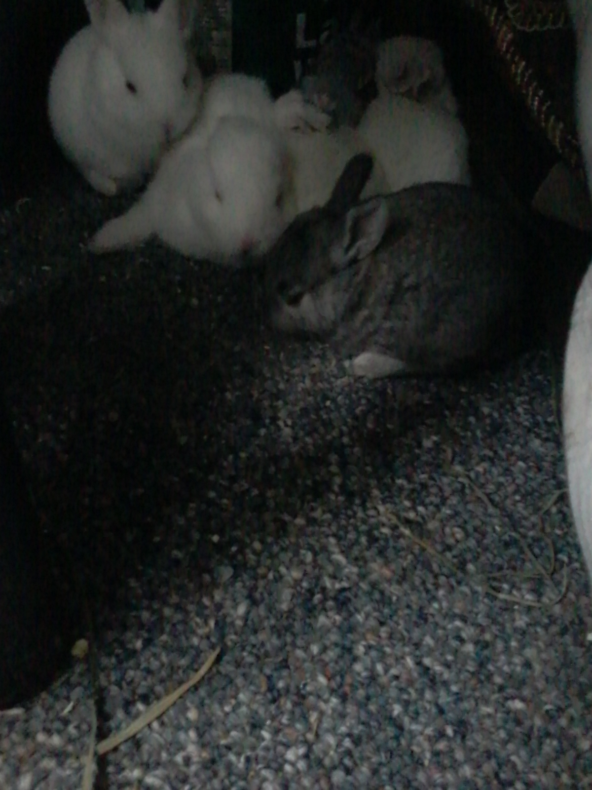 American Standard Chinchilla and New Zealand White Rabbits
