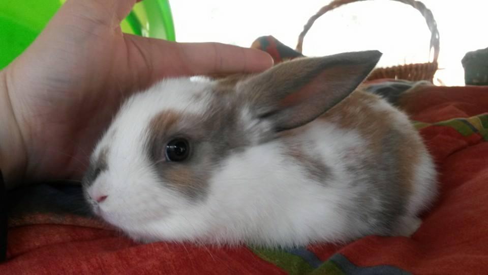 Velveteen Lop X Havana Rabbits