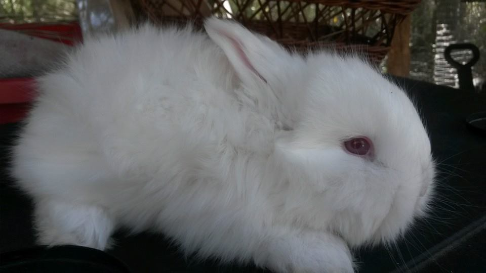 English Angoras (Ruby-Eyed White and Blue-Eyed White) Rabbits