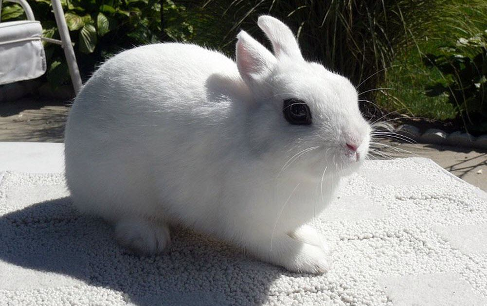 Blanc de Hotot Rabbit