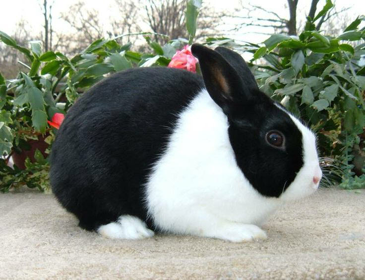 Dutch Rabbit