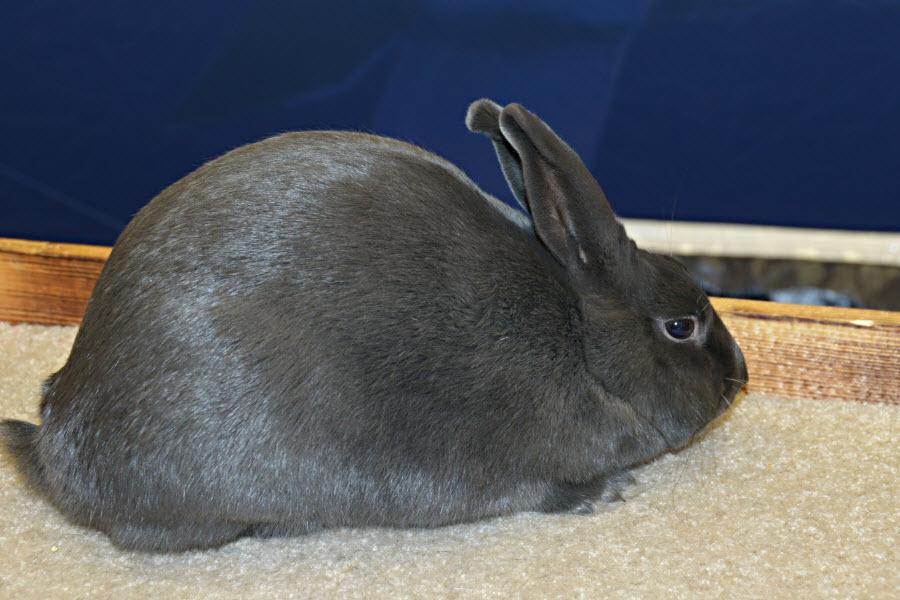 Havana Rabbit