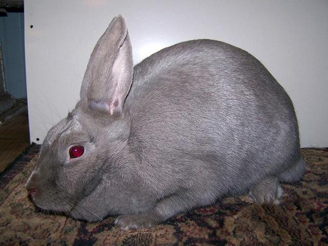 Lilac Rabbit