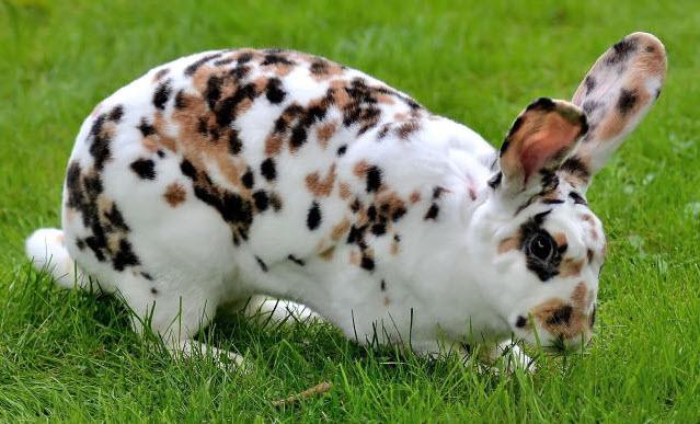 Rhinelander Rabbit