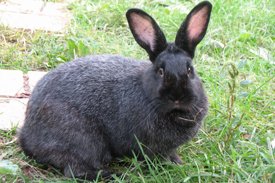 Silver Fox Rabbit