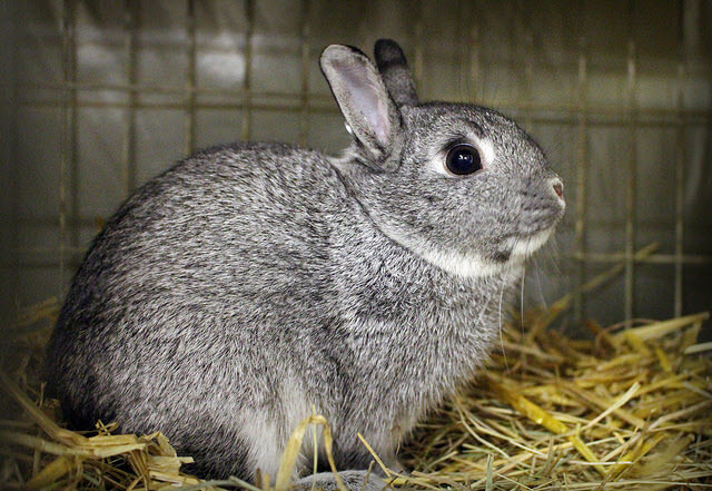 Standard Chinchilla Rabbit