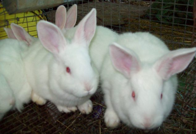 Purebred New Zealand Whites Usa Rabbit Breeders