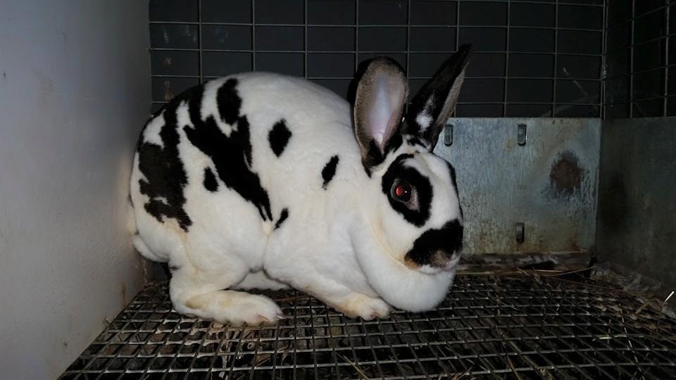 Mini Rex Rabbits
