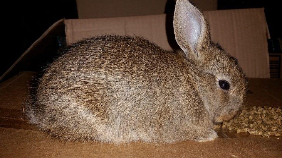 Mixed Breed  Rabbits