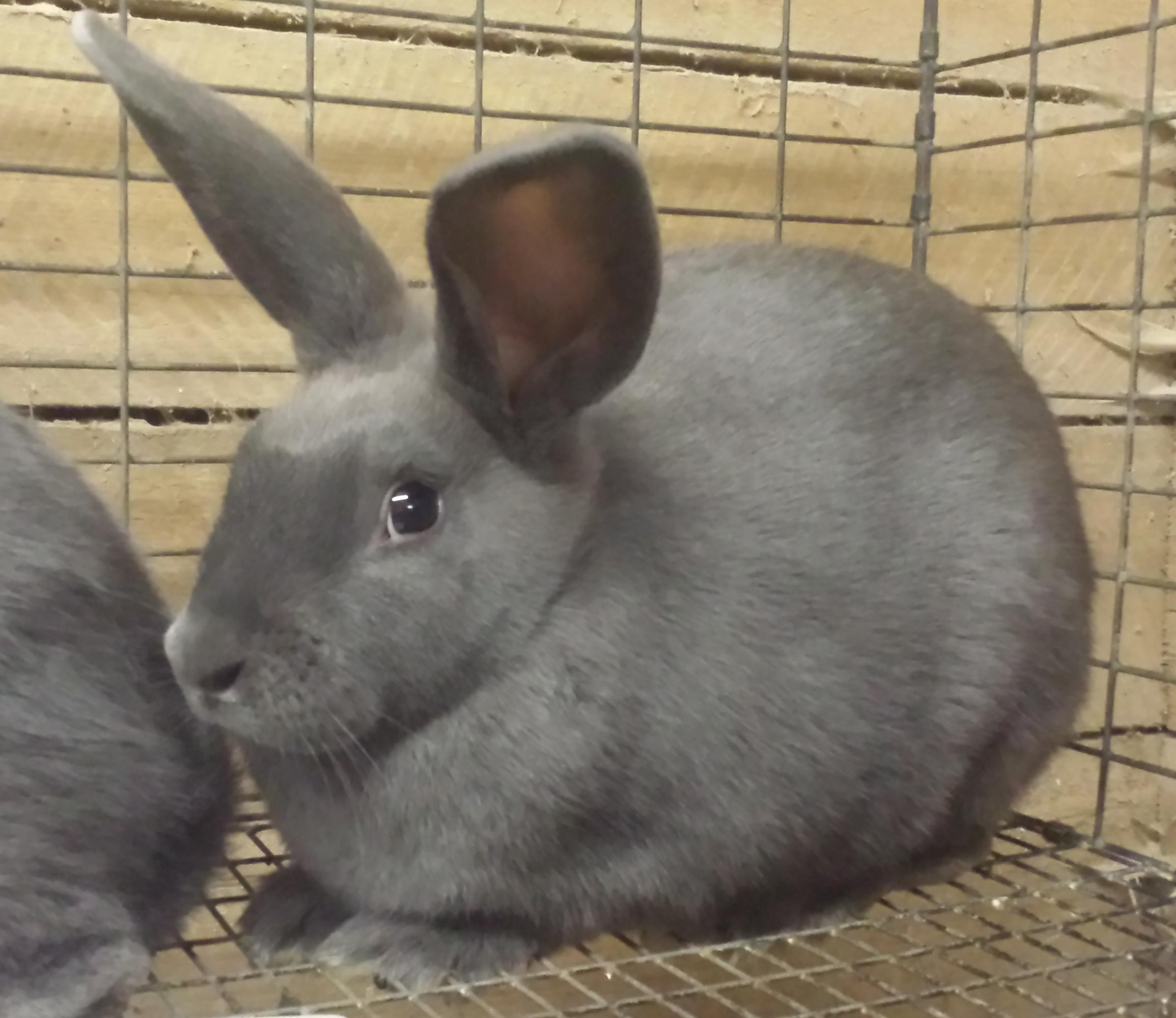 New Zealand Rabbits
