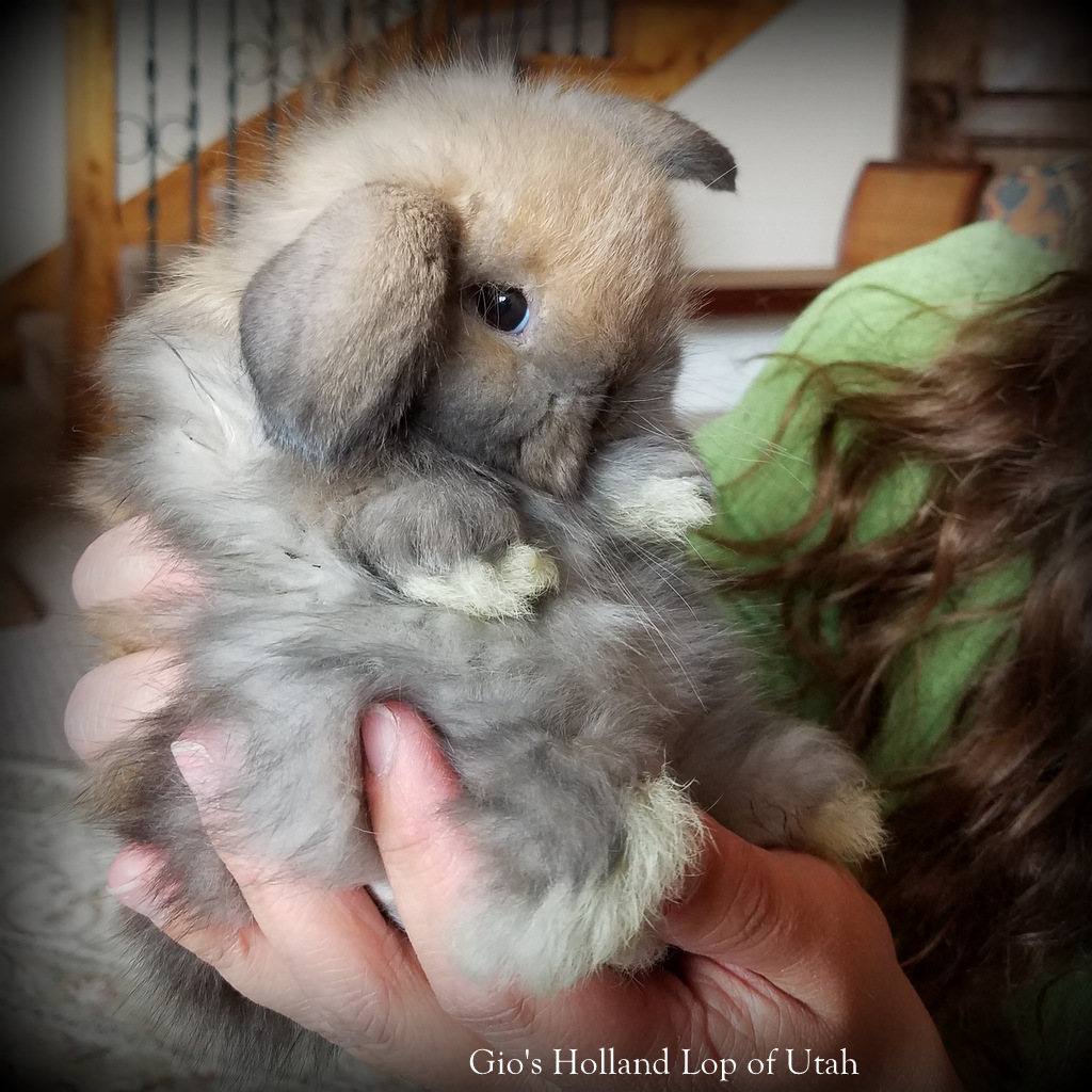 Holland Lop and Fuzzy Lops