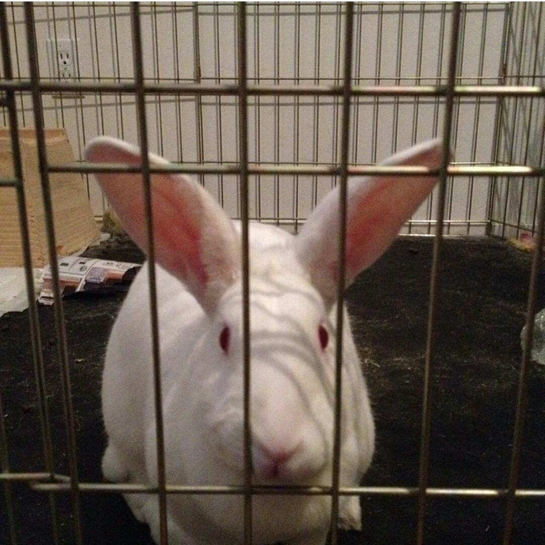 New Zealand Whites, Californian, Netherland Dwarf, Mini Rex Rabbits