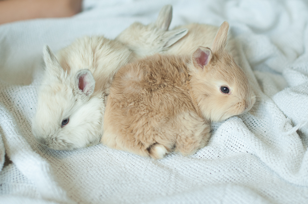 French Angora Rabbits