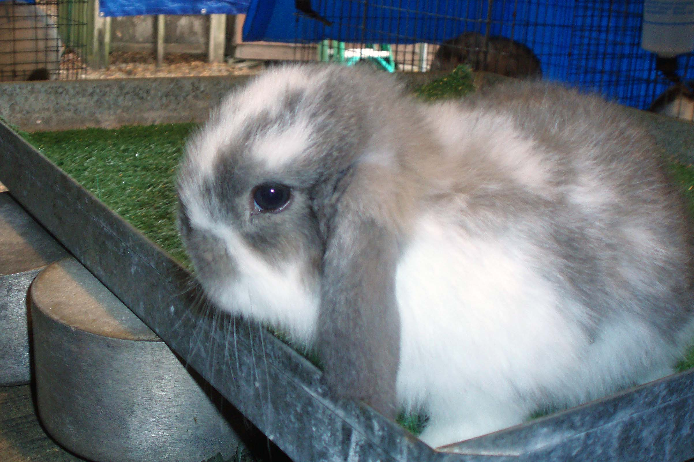 MINI LOP & CALIFORNIAN Rabbits