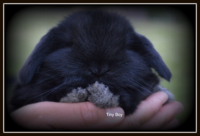 Baby Holland Lop