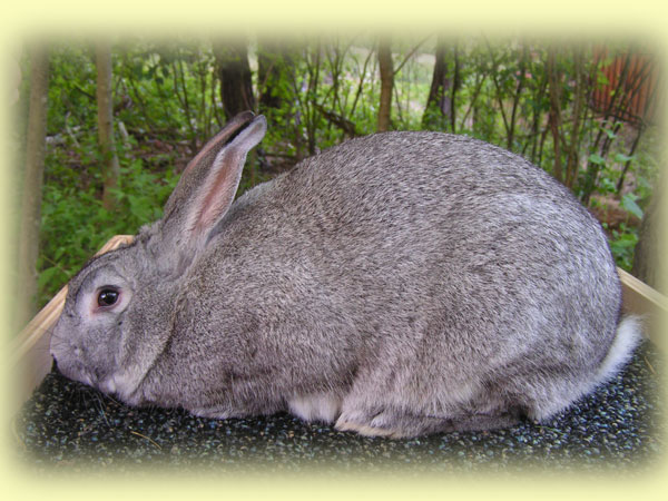 American Chinchilla Rabbit Breed