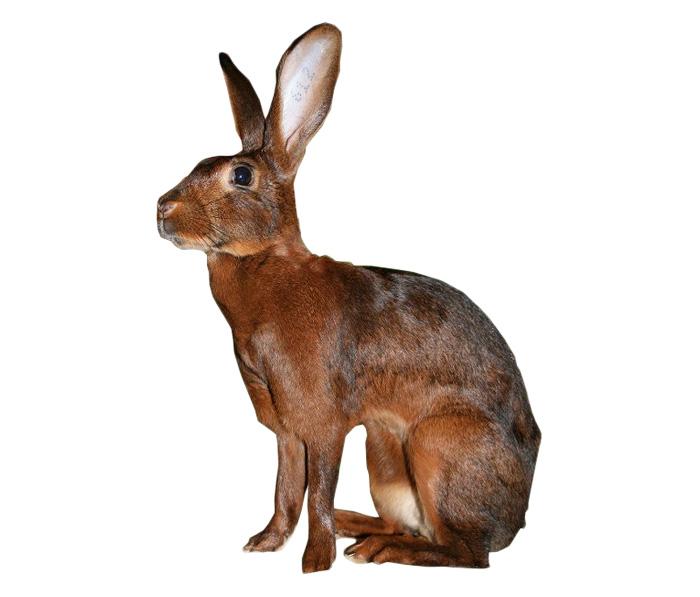 Belgian Hare Rabbit Breed