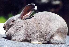 Beveren Rabbit Breed