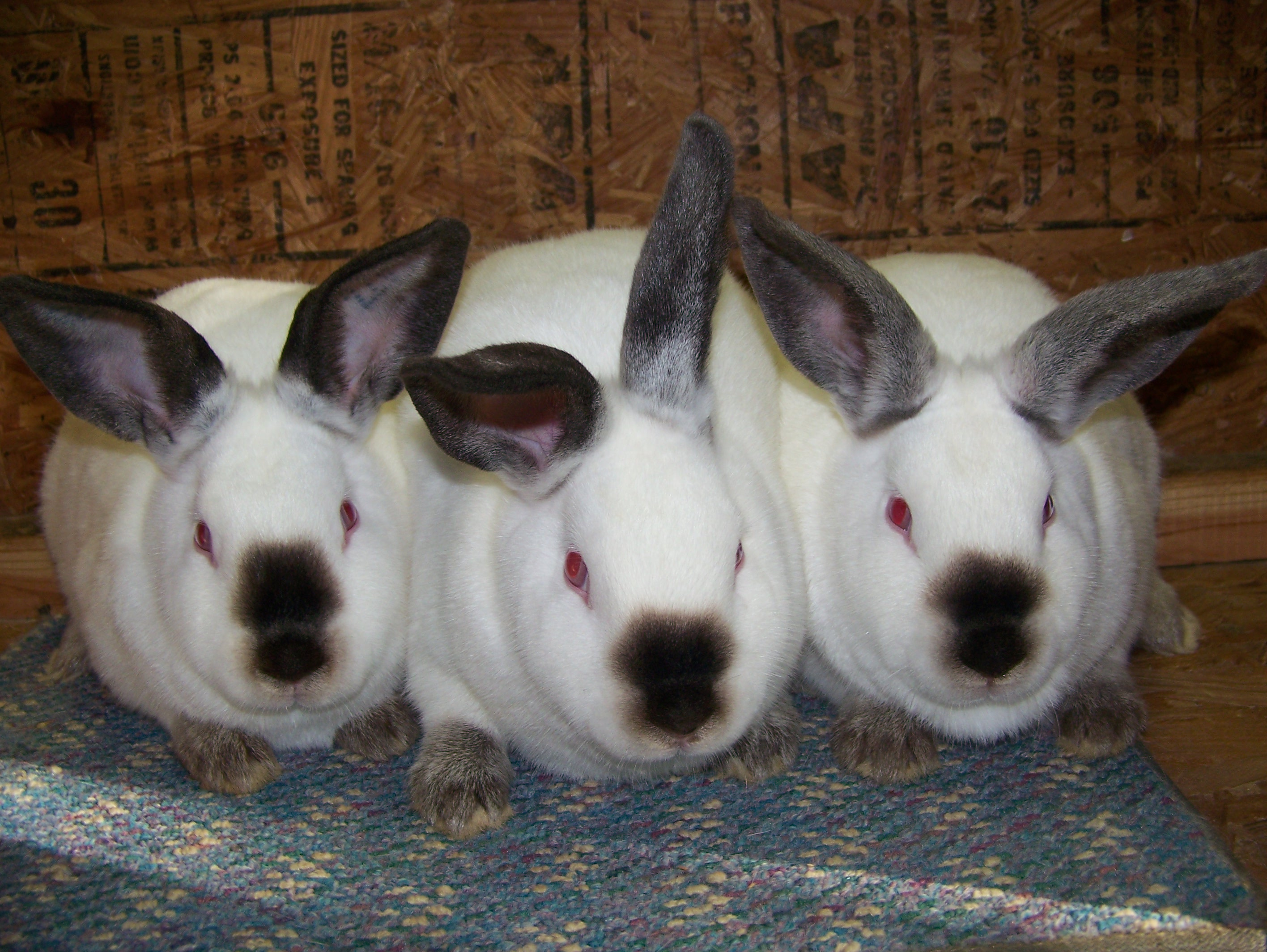 Californian Meat Pen Rabbits   USA Rabbit Breeders