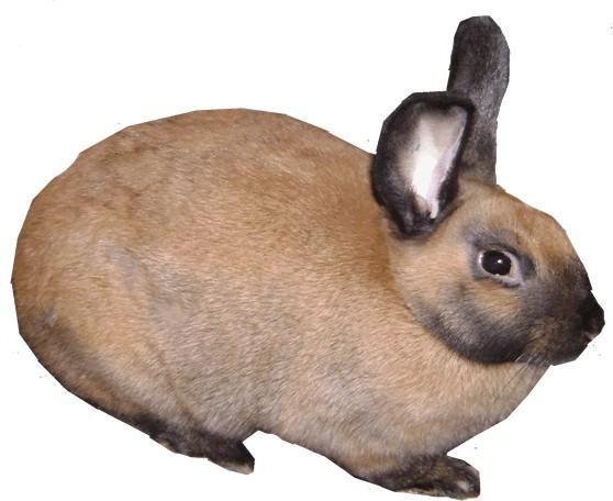 Cinnamon Rabbit Breed