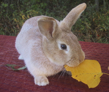 Creme D' Argent Rabbit Breed