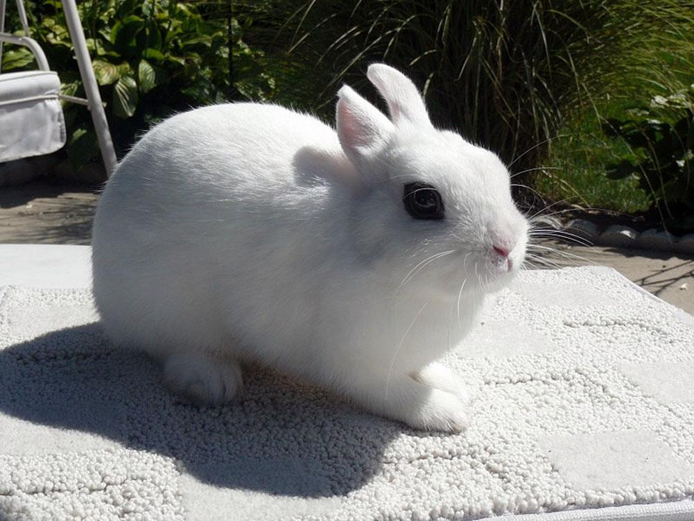 Dwarf Hotot Rabbit Breed