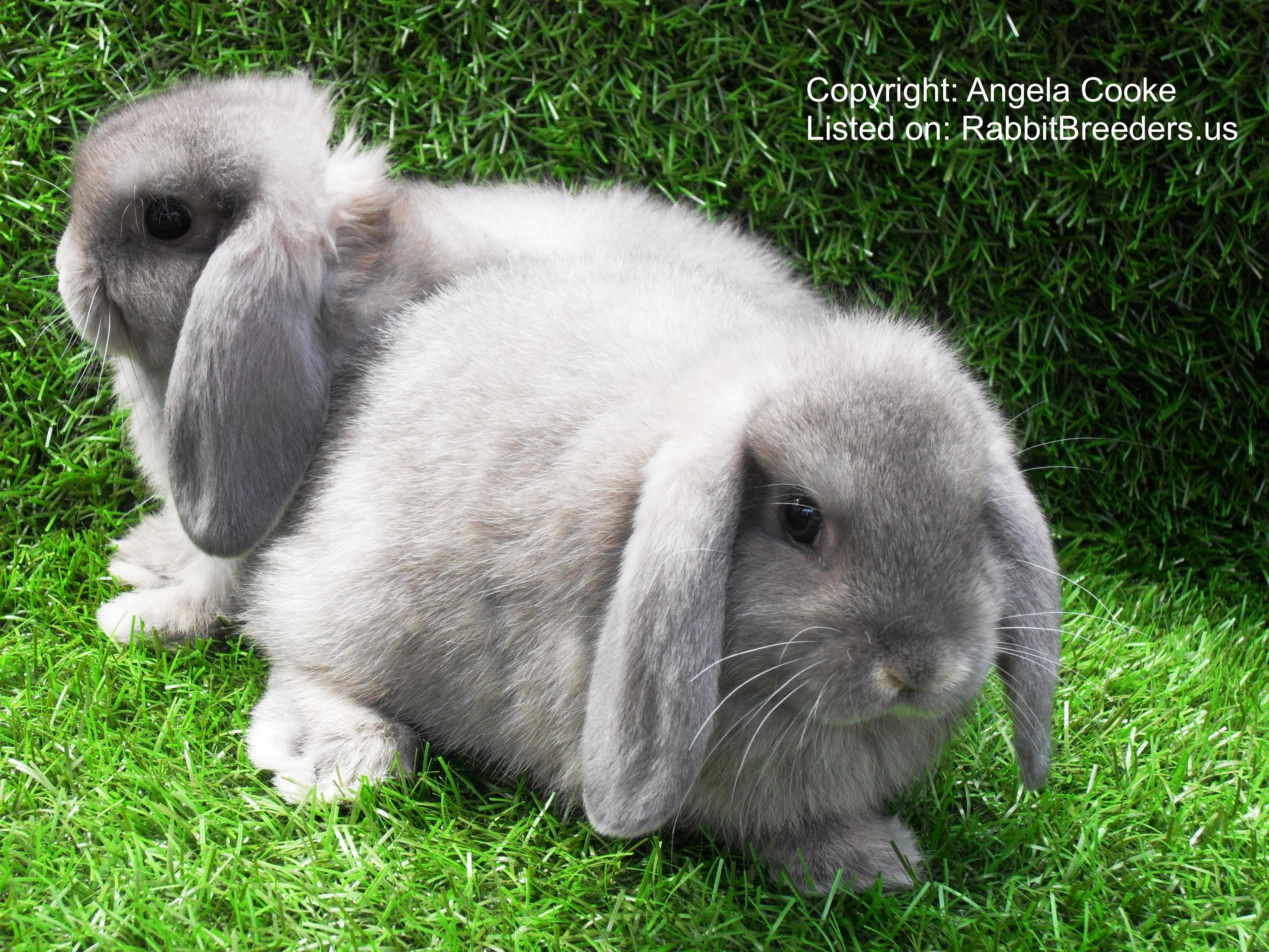 Dwarf Lop Rabbits