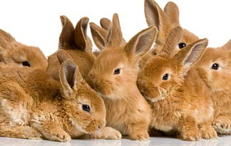 Flemish Giants For Sale In Colorado Usa Rabbit Breeders