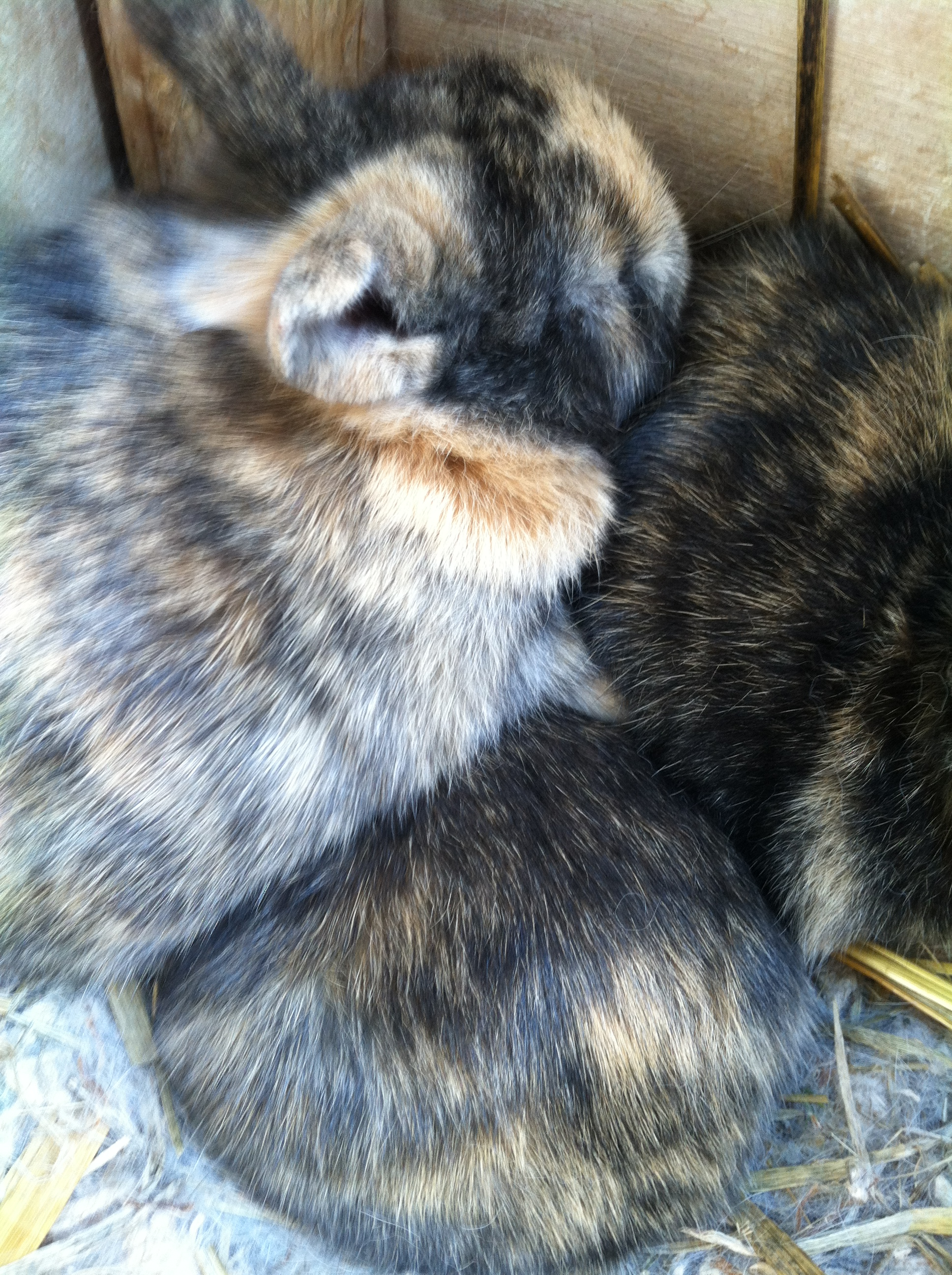 Harlequin Baby Rabbits for Sale