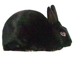 Havana Rabbit Breed
