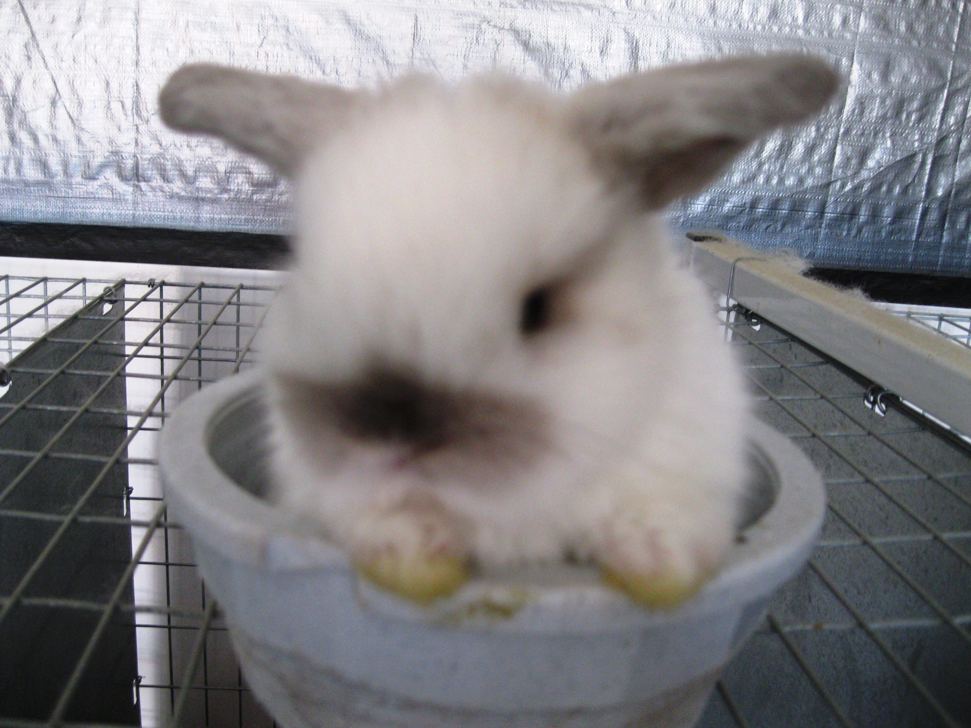 Easter Bunnies for Sale