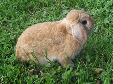 Holland Lop Rabbit Breed
