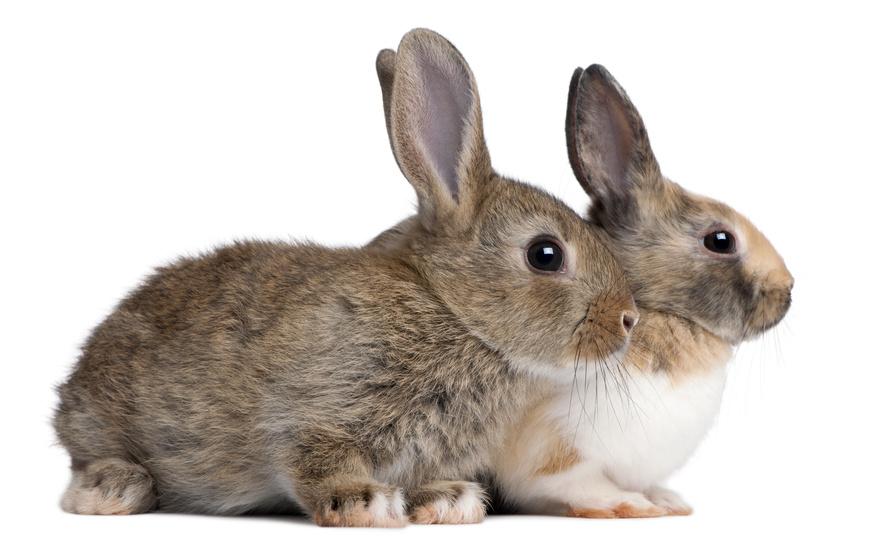 Buying Rabbits