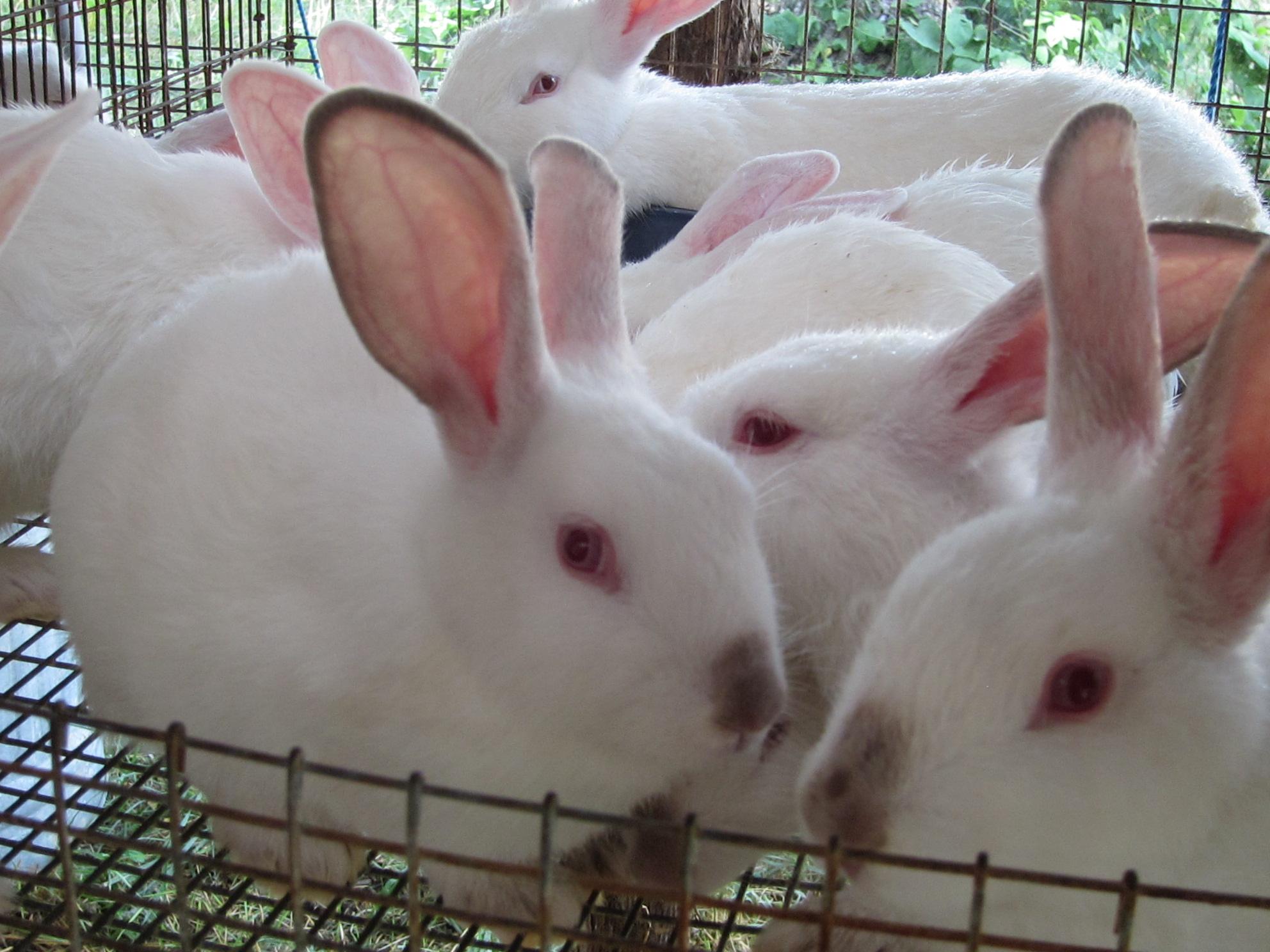 New Zealand Rabbits Rabbits