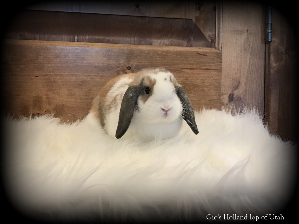 Pet Lop Rabbits